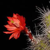 Echinocereus k ...