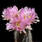 Echinocereus r ...