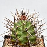 Echinocereus frost hardy plants