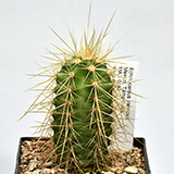 Echinocereus Pflanzen