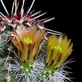 Echinocereus c ...