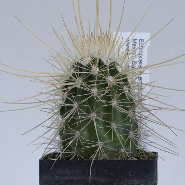 Echinocereus engelmannii x mombergerianus, Mexico, Baja California, nature hybrid