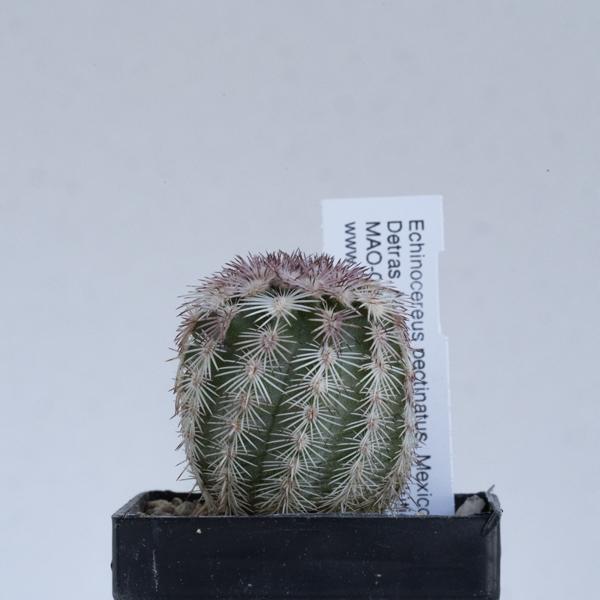Echinocereus pectinatus, Mexico, Detras, mother plants white flowering