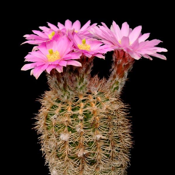 Echinocereus adustus, Cusihuiriachic, 100 Seeds