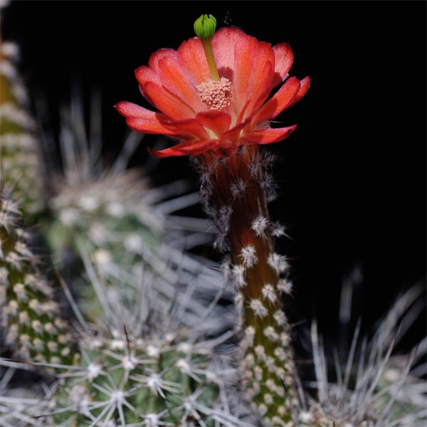 Echinocereus acifer, Milpillas, 500 Seeds