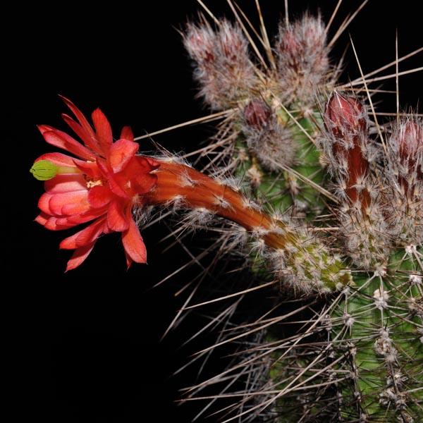 Echinocereus acifer, San Rafael de las Tablas, 100 Seeds