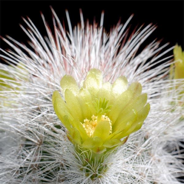 Echinocereus canus, Solitario, 25 Seeds