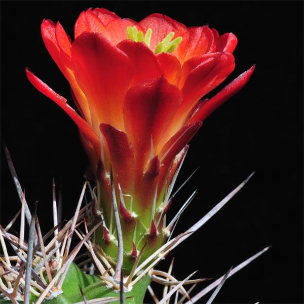 Echinocereus coccineus roemeri, BW111, 25 Seeds