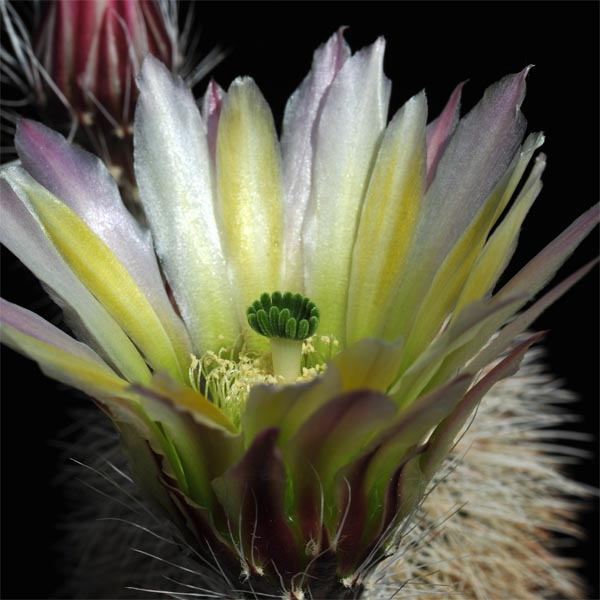 Echinocereus dasyacanthus, McCamey, 100 Seeds