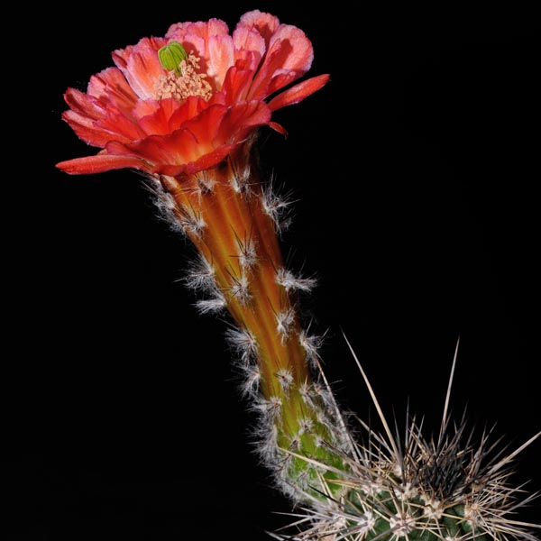 Echinocereus acifer tubiflorus, S.J. Capistrano, 50 Seeds
