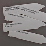 Etiketten Echinocereus viridiflorus corellii, 100 Stück
