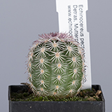 Echinocereus pectinatus, Mexico, Detras, mother plants white flowering