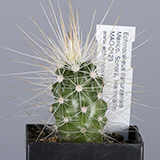 Echinocereus llanuarensis, Hermosillo