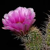 Echinocereus engelmannii fasciculatus, oestlich Tucson, 25 Korn
