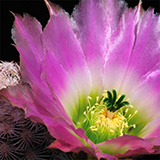 Echinocereus pectinatus, Rodeo-Las Nieves, 25 Seeds
