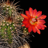 Echinocereus spec., LAU1544, 25 Seeds
