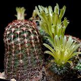Echinocereus viridiflorus, Taos, 25 Korn
