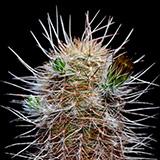 Echinocereus chloranthus cylindricus, Kent, 100 Korn