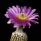 Echinocereus reichenbachii miniature, 25 Seeds