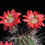 Echinocereus polyacanthus, La Junta, 100 Seeds