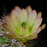 Echinocereus xroetteri, Orogrande, 25 Seeds