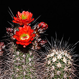 Echinocereus pacificus, San Carlos Canyon, 100 Seeds