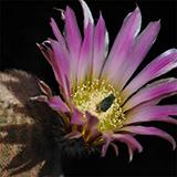 Echinocereus pectinatus, La Cuesta, 50 Korn