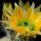 Echinocereus dasyacanthus, bright spination, 500 Seeds
