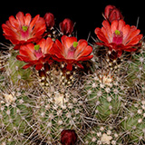 Echinocereus spec., Seligman-Kingman, 50 Seeds