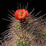 Echinocereus bakeri, Hurricane-Virgin, 25 Seeds