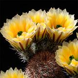 Echinocereus dasyacanthus rectispinus, Alamos de Pena, 25 Seeds