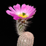 Echinocereus primolanatus, Hundido, 25 Korn