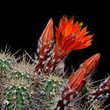 Echinocereus salm-dyckianus, Guachochic-Samachic, 25 Korn