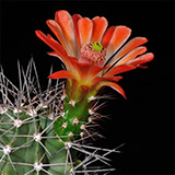 Echinocereus coccineus, Eagle Pass, 100 Seeds