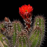 Echinocereus spec., San Antonio, 100 Seeds