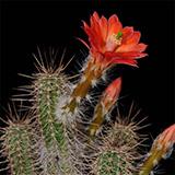 Echinocereus sanpedroensis, 25 Seeds