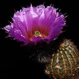 Echinocereus reichenbachii caespitosus, Enchanted Rk., 25 Korn