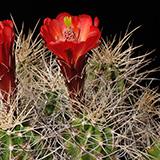 Echinocereus mojavensis, Toroweap Point, 100 Seeds