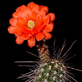 Echinocereus acifer, Hornillos, 25 Seeds