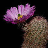 Echinocereus bristolii, Bacanora, bright spinatiion, 100 Seeds