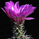 Echinocereus fendleri kuenzleri, New Mexico, 25 Seeds