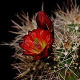 Echinocereus mojavensis, Flagstaff-Jacob Lake, 100 Seeds