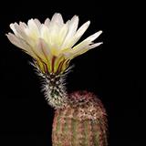 Echinocereus pectinatus rutowiorum, Chih.-Cuauth., 25 Seeds