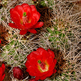 Echinocereus mojavensis, Cisco, 100 Seeds