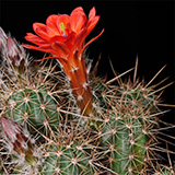 Echinocereus salm-dyckianus, La Junta-Yecora, Km227, 25 Korn