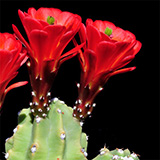 Echinocereus mojavensis inermis, Moab, 500 Seeds