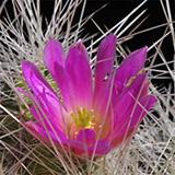 Echinocereus parkeri gonzalezii, LAU1375, 25 Seeds