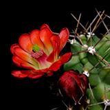 Echinocereus coccineus paucispinus, Del Rio, 50 Korn