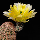 Echinocereus pectinatus rutowiorum, Cumbres de Majalca, 25 Seeds