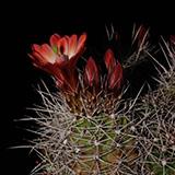 Echinocereus mojavensis, Capitol Reef, 25 Seeds